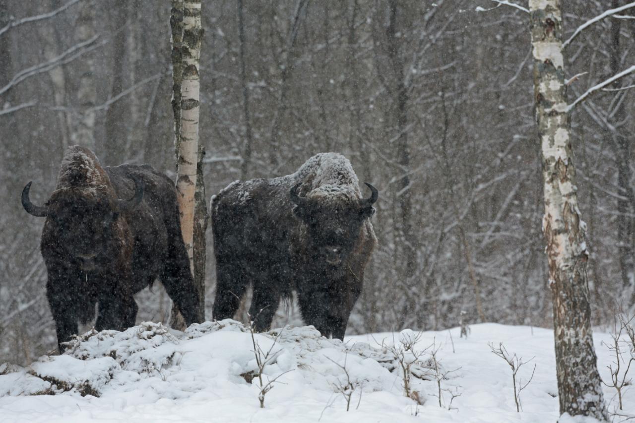 Bialowieza en hiver
