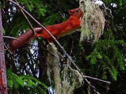 Carelie ecureuil roux finlande