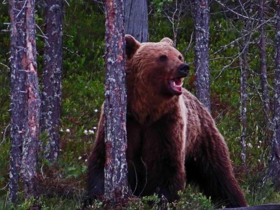 Carelie finlande ours brun