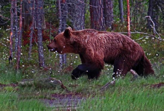 Carelie ours brun finlande
