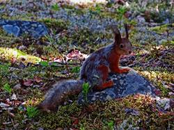 Ecureuil roux en mue finlande carelie
