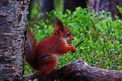 Ecureuil roux finlande carelie 1