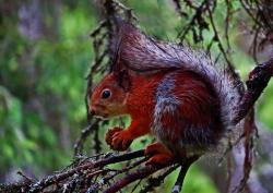 Ecureuil roux finlande carelie