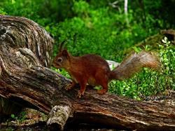 Ecureuil roux finlande