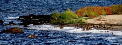 Canards colverts
