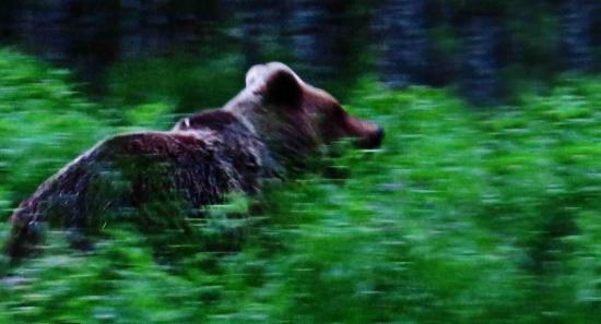 Femelle d ours dans la taiga finlandaise