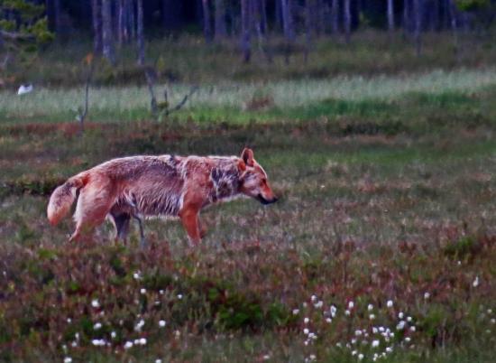 Finlande loup