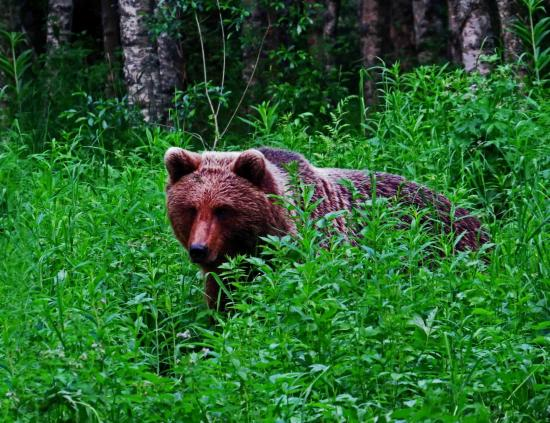 Finlande ours femelle