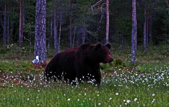 Finlande ours male dans le coton arctique