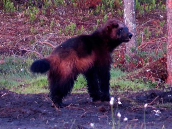 Glouton rescape d une attaque de loup finlande 1