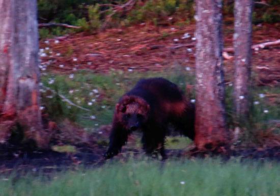 Glouton rescape d une attaque de loup finlande 2