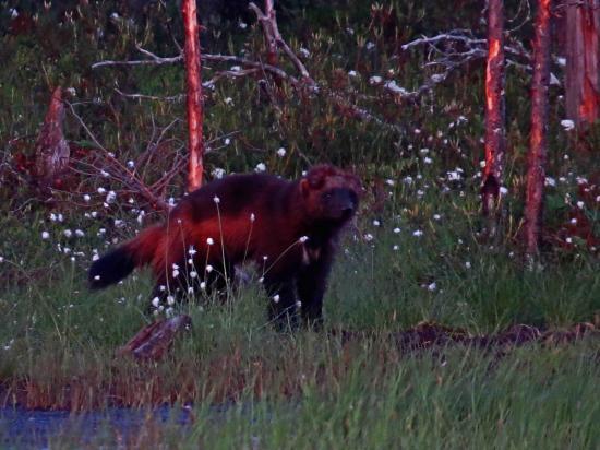Glouton rescape d une attaque de loup finlande carelie 1