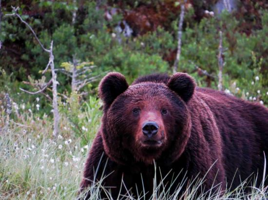 Grand male ours carelie finlande