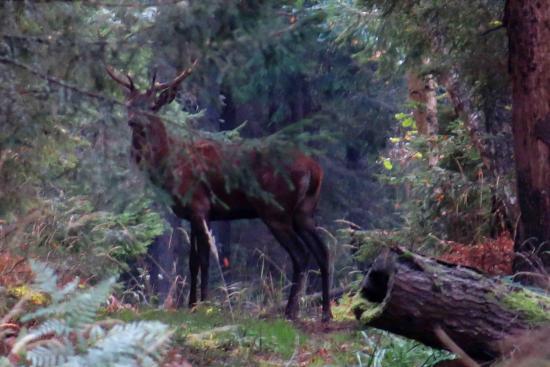 Cerf Forêt Bialowieza 3