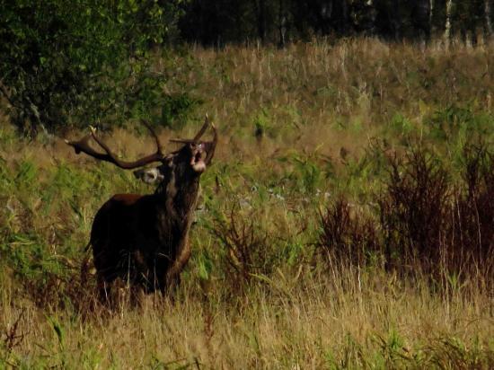 Cerf bramant Forêt Bialowieza 1
