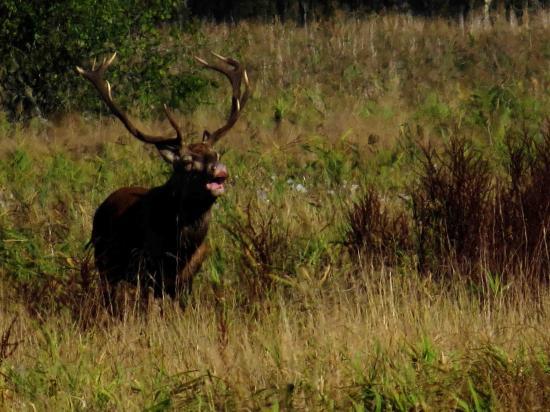 Cerf bramant Forêt Bialowieza