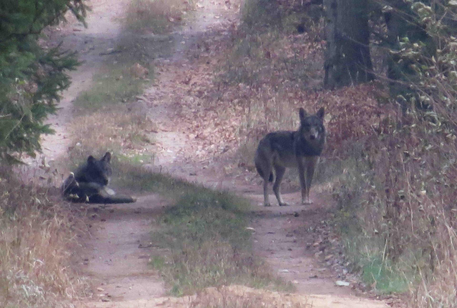 Bialowieza - Le bison et le loup