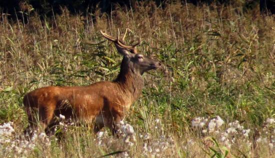 jeune Cerf Forêt Bialowieza