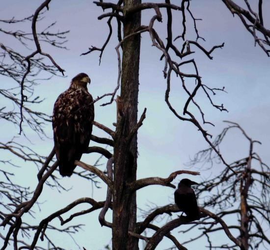 Jeune pygargue et grand corbeau carelie