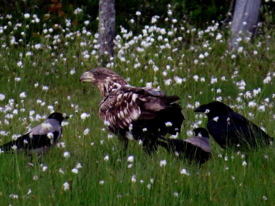 Jeune pygargue et grand corbeau corneille mantelee carelie