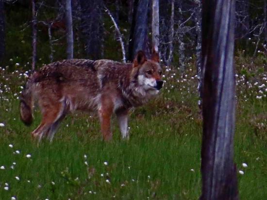 Loup alpha carelie finlande