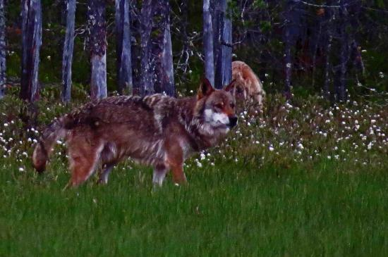 Loup male carelie finlande