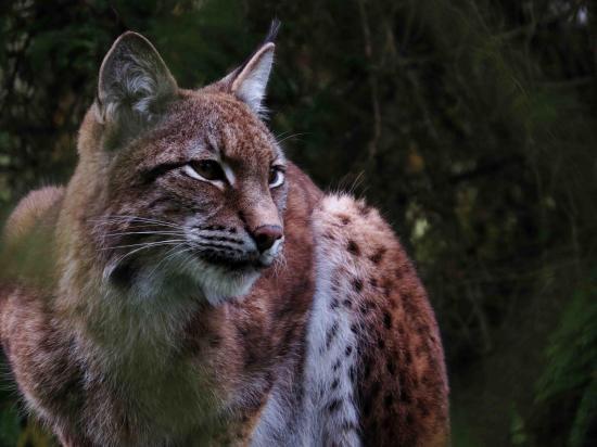 Lynx foret bialowieza 1