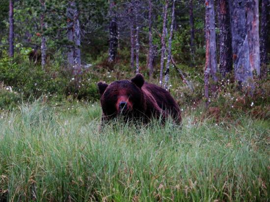 Male ours en rut carelie finlande 2014