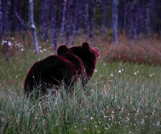 Ours en rut finlande carelie