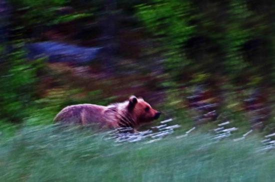 Ours femelle carelie finlande 2014