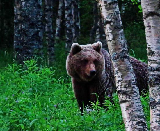 Ours femelle taiga finlandaise