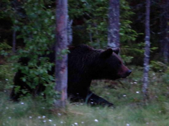 Ours male carelie finlande 1