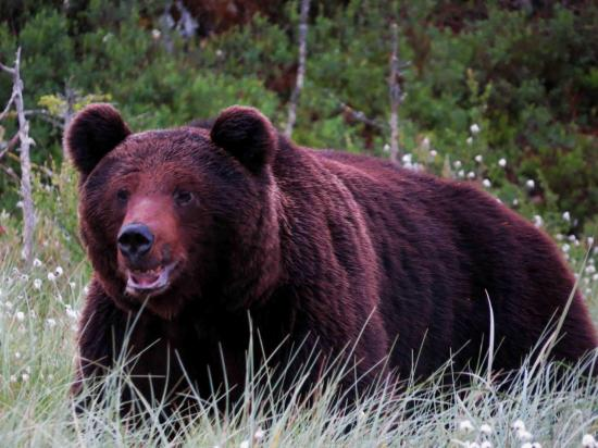 Ours male finlande 2