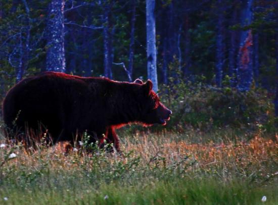 Ours male sous le soleil de minuit carelie 2014
