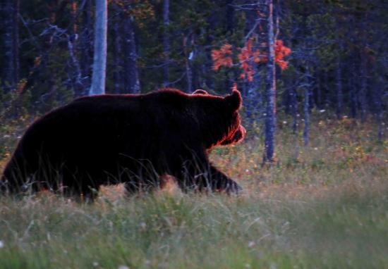 Ours male sous le soleil de minuit finlande carelie 2014