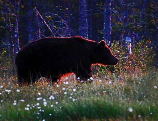Ours male sous le soleil de minuit finlande