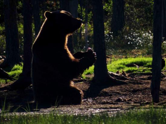 Ours sous le soleil de minuit carelie finlande 2015