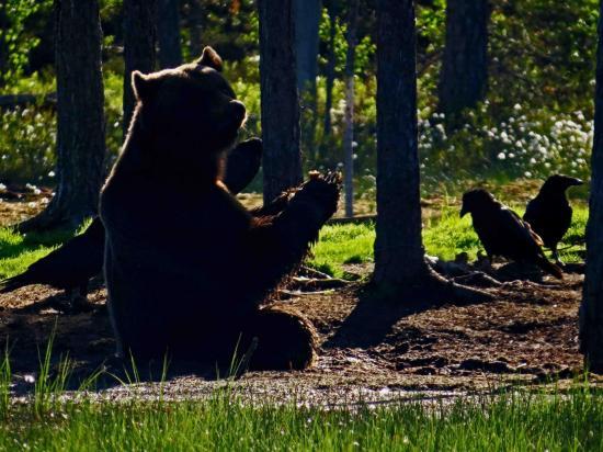 Ours sous le soleil de minuit carelie finlande 3