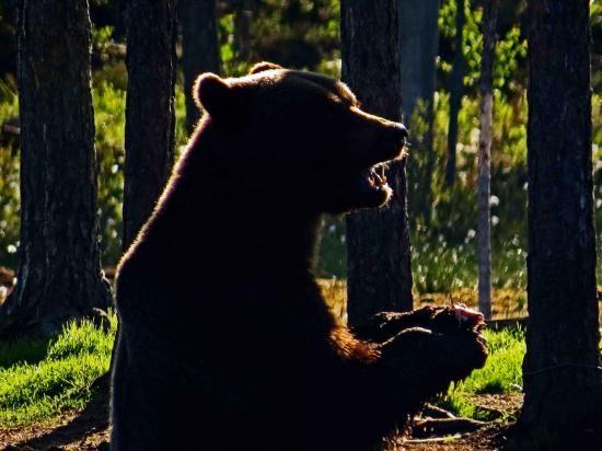 Ours sous le soleil de minuit carelie finlande 4