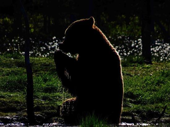 Ours sous le soleil de minuit carelie finlande 5