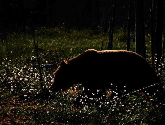 Ours sous le soleil de minuit carelie finlande 6