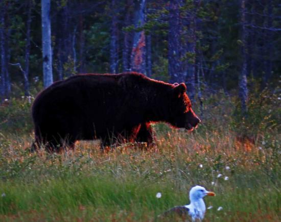 Ours sous le soleil de minuit carelie finlande 7