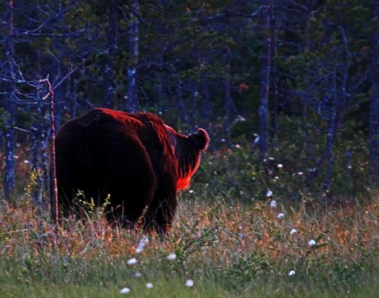 Ours sous le soleil de minuit finlande