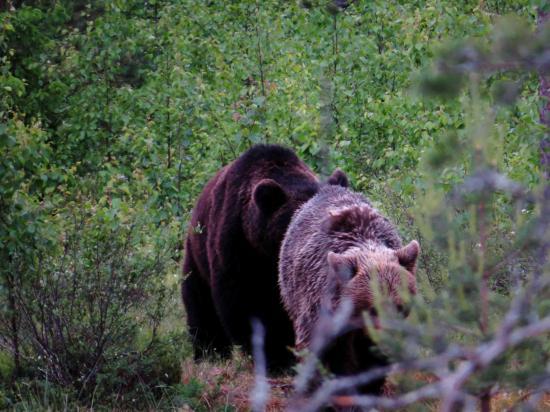 Rut de l ours carelie 1
