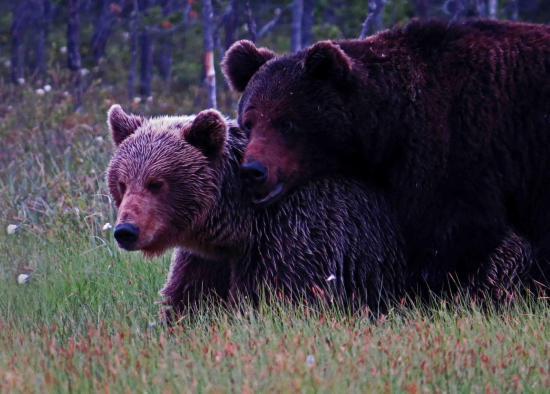 Rut de l ours finlande carelie