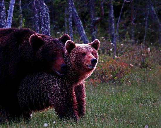 Rut de l ours reproduction carelie finlande