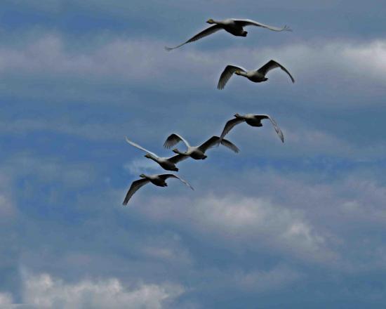 Vol de cygnes sauvages finlande