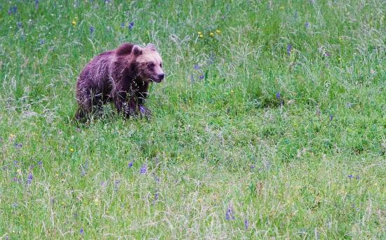 Subadulde de deux à trois ans - ours brun (Ursus arctos)