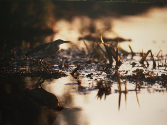 Héron crabier (Ardeola ralloides)
