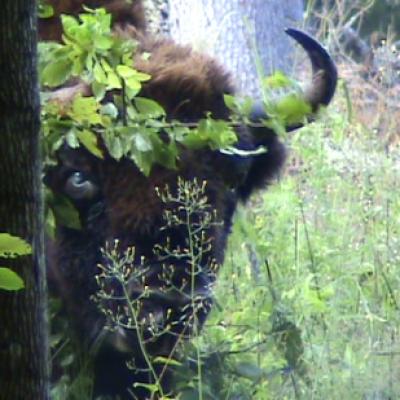 Bisons (Bison bonasus) Forêt de Bailowieza